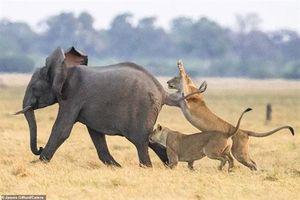CLIP: Bị ba sư tử bao vây, voi con may mắn thoát nạn