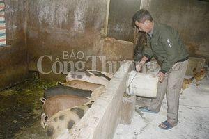 Nghệ An: Nhiều trang trại nuôi lợn không tái đàn