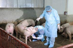 Cam Lâm (Khánh Hòa): Công bố dịch tả lợn châu Phi