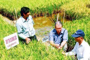 Làm mới hạt gạo miền Tây
