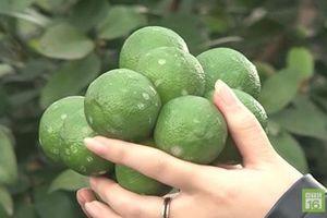 Bắc Giang: Làm giàu nhờ trồng chanh tứ mùa