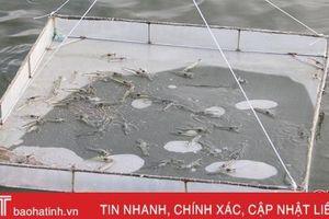 Bệnh vi bào tử trùng trên tôm nuôi lần đầu xuất hiện ở Hà Tĩnh