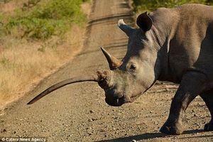 Cận cảnh tê giác trắng có sừng mọc ngược kỳ lạ