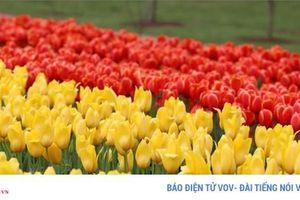 Ngắm hoa tulip nở rực rỡ tại Australia