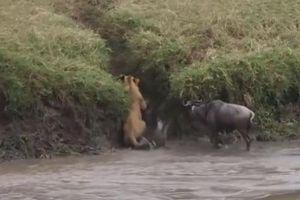 CLIP: Khi sư tử bị động vật ăn cỏ 'truy sát'