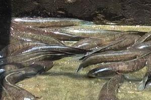 Hà Nội: Lãi 400 triệu đồng/năm nhờ mô hình nuôi cá lóc đầu nhím