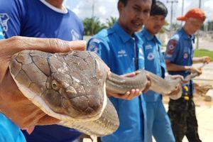 Bắt được rắn hổ chúa dài 4 m trong ống cống ở Thái Lan