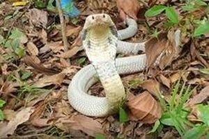 Bắt sống rắn hổ mang bạch tạng quý hiếm giá hàng chục triệu