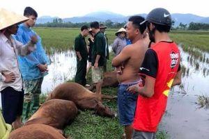 Hà Tĩnh: Sét đánh 1 người nguy kịch, 6 con bò chết trong mưa giông