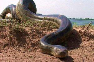 Bắt được rắn khổng lồ dài nhất thế giới, hơn 5m