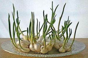 CLIP: Mách mẹ cách trồng tỏi tại nhà vừa đơn giản lại cho năng suất cao