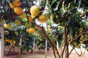 Lễ hội cây ăn quả có múi sẽ diễn ra tại Hòa Bình