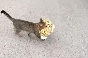 Hài hước chú mèo đột nhập vào nhà hàng xóm để lấy trộm hổ bông