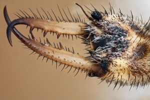 Loài kiến đào hố làm bẫy, hút dịch con mồi thành xác khô