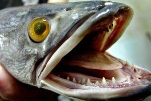 Được yêu thích ở châu Á, cá chuối gốc Trung Quốc lại là ác mộng tại Mỹ