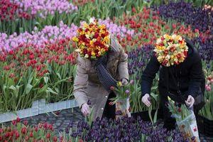 Bê bối động trời về tulip Hà Lan, hàng triệu du khách bị lừa