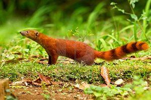 Độc đáo loài cầy có đuôi lạ không tưởng, 'khoái' ăn rắn kịch độc