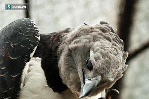 Cận cảnh loài đại bàng có móng vuốt cực khỏe, lực quắp lên tới vài trăm kilogram