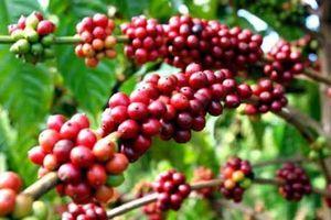 Giá cà phê hôm nay 16/10: Chưa kịp tăng đã giảm mạnh