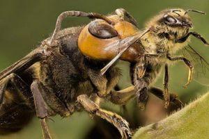 Ong bắp cày vứt con sơ sinh, bỏ đói ong chúa khi trời lạnh