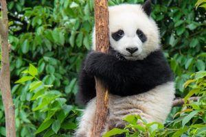 Gấu trúc con tập leo cây ở Trung Quốc