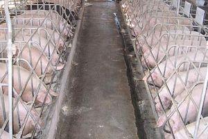 Đàn lợn tại các địa phương giảm 'chóng mặt', cả nước tiêu hủy 5,6 triệu con