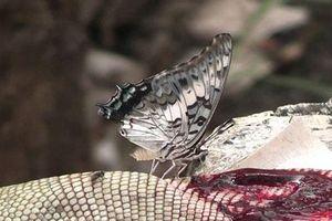Hãi hùng sự thật về những con bướm đẹp lung linh