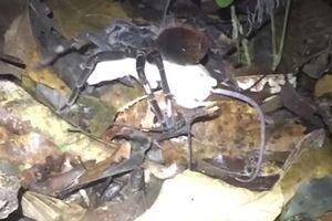 Rợn người nhện khổng lồ giết và ăn thịt chồn Opossum
