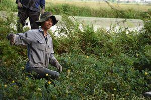 Hải Phòng: Về làng Tú Đôi, cùng dân làng đi bắt chuột đồng mùa lúa chín
