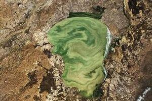 Nhiệt độ tăng thúc đẩy sự nở hoa của tảo độc gây hại cho môi trường