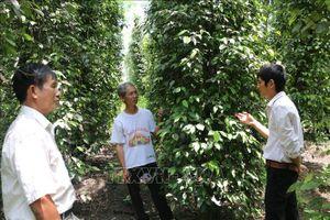Thêm mùa 'đắng' ở 'thủ phủ' hồ tiêu Bình Phước