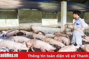 Những vấn đề cần quan tâm khi thực hiện tái đàn sau bệnh dịch tả lợn châu Phi