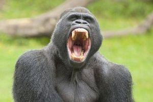 50.000 năm trước, tác nhân gây bệnh sốt rét đã từ khỉ đột lây sang người