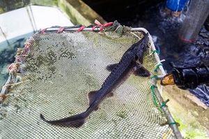 Quảng Ninh: Nuôi loài cá mõm nhọn trong 'ruộng bậc thang', bán 250.000 đồng/kg