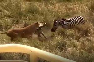 CLIP: Ngựa vằn tung cước 'lật mặt' sư tử giải cứu con non