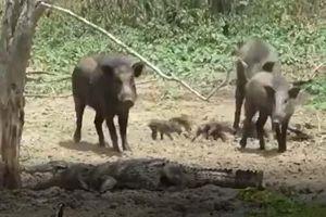 CLIP: Cá sấu săn lợn rừng và cái kết