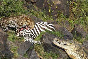 Cá sấu há miệng đe dọa báo hoa mai có ý định cướp mồi