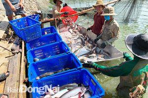 Vùng nuôi cá tra VietGAP
