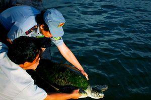 Bảo tồn các loài rùa biển trước nguy cơ suy giảm nhanh