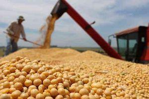 Trung Quốc bắt đầu mua mạnh đậu tương Mỹ trở lại