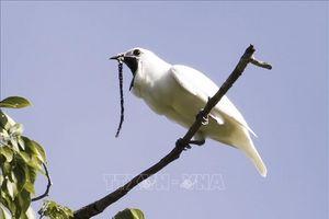 Loài chim có tiếng kêu lớn nhất thế giới