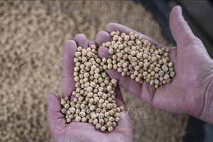Trung Quốc miễn thuế đối với đậu tương nhập khẩu của Mỹ