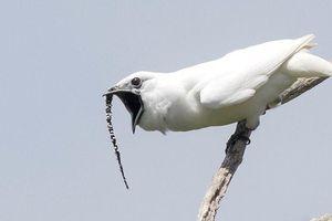 Loài chim có tiếng kêu to nhất vừa lập kỷ lục thế giới