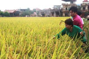 Hà Nội đẩy mạnh nghiên cứu giống lúa chống chịu biến đổi khí hậu