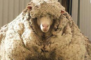 Con cừu Chris nổi tiếng với bộ lông cừu kỷ lục đã chết
