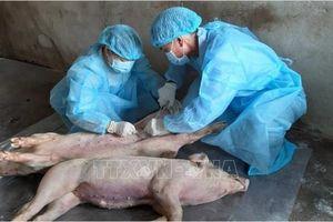 Người dân vẫn ngại tái đàn dù giá lợn hơi 'phi mã'