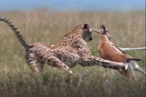 CLIP: Linh dương nhận 'cái kết đắng' khi chạm mặt báo săn
