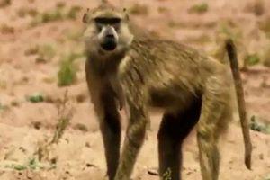 CLIP: Khỉ cứu linh dương thoát khỏi móng vuốt của báo đốm