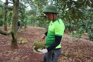 Đắk Lắk: Sầu riêng mất mùa, mất giá