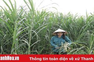 Mở rộng diện tích trồng cây thức ăn chăn nuôi ở khu vực miền núi